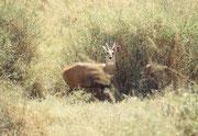 Buschbock oder Imbabala (Tragelaphus sylvaticus). Sein bevorzugter Lebensraum sind Wälder und Buschwerk in Wassernähe. Da es in der Serengeti nicht allzu viele Wälder und Ufergehölze hat, ist er dort eine eher seltene Antilopenart.