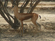 Dorcas Gazelle (Gazella dorcas) im Al Wabra Wildlife Preservation Center