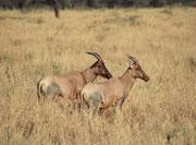 Zwei Leierantilopen, der Art (Damaliscus lunatus), also Tsessebes (Serengeti NP)