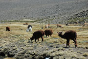 Hier eine interessante Situation, wo ein paar Vicunjas in einer Gruppe Alpakas weiden. Ich versuchte mich quasi im Schutz der Alpakas den Vukunjas anzunähern. Sie zogen sich jedoch stets unmerklich zurück und hielten dieselbe Distanz zu mir aufrecht.