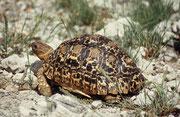 Leopardschildkröte (Geochelone pardalis)