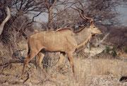 Auf dem Dik-Dik Drive gibt es auch andere - weit grössere – Antilopen zu sehen, wie hier diesen wunderbaren Kudu-Bullen (Tragelaphus strepsiceros), der mit seinen 200 kg Körpergewicht doch ein ganz anderes Kaliber darstellt.