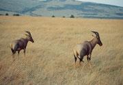 Zwei Leierantilopen, auch Topi genannt (Damaliscus korrigum) (Masai Mara)