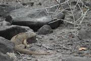 Drusenköpfe bewohnen (und schlafen nachts) in selbst gegrabene Erdhöhlen, in denen sie vor der starken Sonneneinstrahlung geschützt sind. Leider wurden sie auf einzelnen Inseln durch eingeführte Feinde (Schweine, Ratten, Katzen, Hunde) fast ausgerottet.