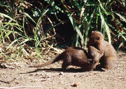 In einem (eingezäunten) Picknickplatz konnten wir eine Familie Südlicher Zwergmangusten (Helogale parvula) beim Spiel beobachten. Diese kleine Mangustenart ist tagaktiv und lebt in Gruppen. Sie machen Tagesstreifzüge von bis zu 1 km.