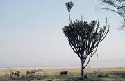 Morgenstimmung mit Kaffernbüffeln und einer riesigen Euphorbie. Diese Pflanze - ein Wolfsmilchgewächs - kommt im Lake Nakuru NP sehr häufig vor. Im Jahre 2005 aber waren – entgegen unseren Erfahrungen des Jahres 2000 - viele abgestorben (Krankheit ?).