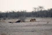Am darauffolgenden Morgen sahen wir tatsächlich ein paar Löwinnen, welche sich, nicht weit vom Fort Namutoni entfernt, dazu anschickten, eine erlegte Giraffe zu verspeisen.