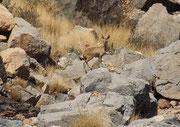 Auch dieser Klippspringer (Oreotragus oreotragus), eine der zierlichsten Antilopen Afrikas, und die einzige, die auf den Hufspitzen läuft, liess sich durch uns nicht stören. Dass man zu Fuss sich so nahe an Wildtiere annähern konnte, war aussergewöhnlich.