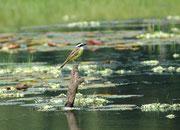 Gelbbauchschnäpper (Pitangus lictor), auch Lictormaskentyrann genannt. Die Tyrannen (Tyrannidae) ernähren sich hauptsächlich von Insekten. Den Namen haben sie wegen ihrer Aggressivität gegenüber Eindringlingen in ihr Revier (sogar gegenüber Greifvögeln).