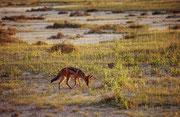 Ein Schabrackenschakal (Canis melomelas) auf der Suche nach Nahrung.