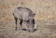 """Die Eckzähne des Oberkiefers (""""Hauer"""") des männlichen Warzenschweins können bis 60 cm lang werden. Sie werden bei der Nahrungssuche eingesetzt (Durchwühlen des Bodens), aber sind auch gefährliche Stichwaffen zur Verteidigung (selbst gegen Leoparden)."""