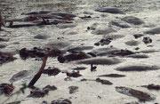 Da Flusspferde die Gewohnheit haben, im Wasser zu koten und mit dem Schwanz den Kot noch herumzuspritzen, kann man sich vorstellen, dass die Tiere hier bald in einer unangenehm riechenden Brühe von wenig Wasser und reichlich eigenen Exkrementen badeten.