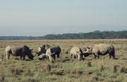Dieselbe Gruppe von Breitmaulnashörnernn etwas näher. Auffallend waren die schönen, grossen Hörner bei diesen Tieren. Das ist nicht verwunderlich, werden doch diese Tiere im Lake Nakuru NP sorgfältig überwacht.