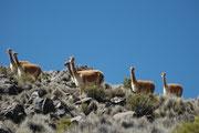 Ein weiterer Trupp Vikunjas (Lauca NP). Heute gibt es übrigens im gesamten Verbreitungsgebiet der Art wiederum etwa 200'000 Exemplare. Die sorgsam gewonnene, zertifizierte Wolle wird dann zu teuren Produkten (Schals, Ponchos, Decken) verarbeitet.