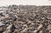 Zur Fortpflanzungszeit bilden die Seebären grosse Kolonien, in denen jeweils ein Männchen je einen Harem aus bis zu 50 Weibchen verteidigt. Die Weibchen wählen ihren Haremsbesitzer selbst aus (massgebend ist die Grösse und Lage seines Territoriums).