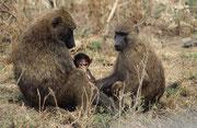 Familienidylle bei den Bärenpavianen (Lake Nakuru NP)
