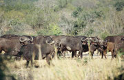 """Die """"big five"""" sind: Elefant, Nashorn, Löwe, Leopard und Büffel. Vier davon sahen wir in den ersten 10 Tagen auf unserer ersten Afrikareise im Krüger NP. Kurz vor Abreise aus dem Park standen wir endlich auch den Kaffernbüffeln (Syncerus caffer) gegenüber"""