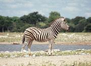 In der Trockenzeit werden die Wasserstellen von vielen Tieren aufgesucht und sind deshalb äusserst attraktive Beobachtungsorte. Bei unserem Besuch im Februar war dort häufig niemand. Hier ausnahmsweise ein Burchells Zebrahengst ( (Equus quagga burchellii)