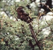 Elsternwürger (Corvinella melanoleuca). Die Würger scheiden die unverdaulichen Reste verzehrter Beutetiere (Haare, Knochen, Federn, Chitinteile von Insekten) in Form kleiner Speiballen (Gewölle) aus, wovon sich ihr Name ableitet.