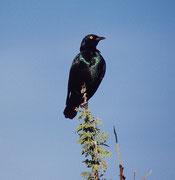 Rotschulterglanzstar (Lamprotornis nitens). Die wunderbar metallisch schillernden Glanzstare sind in Afrika überall anzutreffen. Aber diese quirligen Vögel zu fotografieren ist gar nicht so leicht.