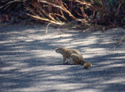 Dieses Tierchen hat uns willkommen geheissen, kurz nachdem wir den Eingang des Krüger Nationalkparks passiert hatten. Es handelt es sich wohl um das Smith-Buschhörnchen (Paraxerus cepapi), auch Gemeines Buschhörnchen oder Gelbfussbuschhörnchen genannt.