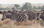 """So kam es denn auch im Krüger NP (nahe beim Camp """"Satara"""") zu Ausblicken, wie man sie mit anderen afrikanischen Wildparks assoziiert. Hier Burchell's-Zebras und Streifengnus sowie Süssdornakazien (Acacia nigrescens) und Marulabäume (Sclerocarya birrea)."""