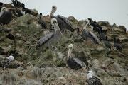 Ausserden finden sich auf den Islas Ballestas auch noch zahlreiche Braune Pelikane (Pelecanus occidentalis). Sie erreichen eine Körperlänge von 1 bis 1,3 Meter und ein Körpergewicht von 3,5 Kg.