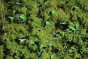 """Allmählich kamen sie, wie Heuschrecken: Vorerst Papageien mit mehrheitlich grünem Gefieder, hauptsächlich Schwarzohrpapageien (Pionus menstruus), engl. """"Blue-headed Parrot"""" und einige Amazonenarten, wie z. B. die Mülleramazone (Amazona farinosa)"""