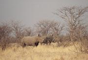 """Auf der gleichen morgendlichen Rundfahrt (bezeichnenderweise auf dem """"Rhino Drive""""), sahen wir auch zwei prächtige Breitmaulnashörner (Ceratotherium simum). Sie haben ein breites, an das Äsen von Gras angepasstes Maul."""