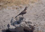Auch allerlei Vögel finden sich natürlich bei diesen Wasserstellen ein. Hier könnte es sich um eine Rotscheitellerche (Calandrella cinerea) handeln. Sie kommt in ganz Afrika südlich der Sahara vor (Wasserstelle Andoni).