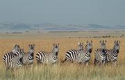 Und so plötzlich, wie wir uns inmitten von Gnus und Zebras fanden, so plötzlich hörte die Pracht wieder auf. Die Zebras beobachten uns, die wir uns wieder in die leere Graslandschaft fortbegaben, aufmerksam.