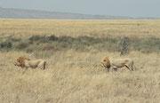 Wir staunten nicht schlecht, als sich ein zweites, ebenso schönes, starkes Löwenmännchen zum ersten gesellte und ebenfalls davon zog. Vermutlich handelte es sich um zwei Brüder.