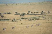 Eine weite Steppenlanschaft. So sieht es im Masai Mara Nationalpark zum grössten Teil aus