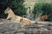 Dieselben Löwen etwas näher. Jetzt geht es den Jungen noch gut. Aber wie viele davon werden das erste Jahr überstehen ?