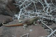 """Die rund 20 cm langen """"Lava lizards"""" sind die häufigsten Reptilien auf dem Archipel und sind, wie die meisten anderen Tiere, erstaunlich zutraulich. Auf Espanola ist die Gattung (Microlophus) durch die Art Microlophus delanonis vertreten."""