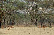 Im etwas wilderen Teil des Parks, der am weitesten von der Stadt Nakuru entfernt ist, gibt es diese Galeriewälder und sogar ein paar Hügel. Im Vordergrund Impalas. In dieser Region haben wir sogar das Nest eines Sekretärpaars (Sagittarius serpentarius) ge