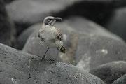 """Auch die Galapagos Spottdrossel """"Mockingbird"""" (Mimus parvulus) ist eine endemische Art. Sie ist ein Allesfresser (Samen, Wirbellose, Eier, geschlüpfte Meeresschildköten, ja sogar Seelöwenplazentas) (Punta Suarez, Espanola)."""