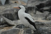Der Maskentölpel (Sula dactylatra) erreicht eine Körperlänge von 75 - 85 cm, die Flügelspannweite beträgt 160 - 170 cm. Zum Fang von kleineren Fischen (inkl. Fliegende Fische) stösst er aus einer Flughöhe von 12 bis 100 m herab (= Stosstaucher).