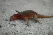 Wie die Meerechsen sind auch die Lava Lizards wechselwarm und müssen sich am Morgen in der Sonne aufwärmen. Wird es allerdings während des Tages zu heiss, suchen sie den Schatten auf.