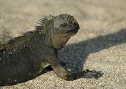Auf Seymour Norte fanden wir auch einzelne Meerechsen (Amblyrhynchus cristatus). Hier waren diese Tiere fast völlig schwarz. Meerechsen sind in Ecuador gesetzlich völlig geschützt, werden aber von verwilderten Hauskatzen und Hunden gelegentlich gefressen.