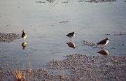 Bei diesen Limikolen (Watvögeln) handelt es sich um Bruchwasserläufer (Tringa glareola). Sie sind Langstreckenzieher, die in der gemässigten und borealen bis subarktischen Tundra Nordeuropas brüten.
