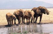 Elefanten an Wasserstelle (Tsavo East)
