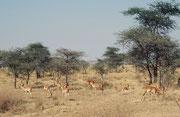 """Eine Junggesellengruppe von Impalas (Aepyceros melampus melampus). Entgegen den """"Schwarznasenimpalas"""" von Namibia haben die Impalas im Serengeti NP keinen schwarzen Streifen auf der Nase (aber nach wie vor den schwarzen Haarbüschel an den Fersen)."""