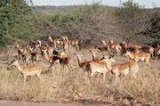 """Bevor wir unser erstes Camp im Park (""""Punda Maria"""") erreichten, fuhren wir im Abendlicht an dieser schönen Herde von Impalas (Aepyceros m. melampus) (Schwarzfersenantilope) vorbei. Es handelt sich um ein Männchen (mit leierartigen Hörnern) und sein Harem."""