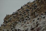 """Dicht an dicht sitzen die Guanotölpel auf den Felshängen. Den Namen hat diese Art von der Tatsache, dass sie ihr Nest aus Guano baut. (""""Guano"""": Kot, der sich mit dem Kalkstein zu einem feinkörnigen Gemenge verschiedener Calciumphosphate u.a. vermischt)."""