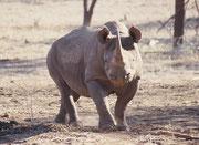 Im Mokopane Breeding Centre werden – betreut vom Pretoria Zoo - auch einige Tiere in Gehegen gehalten. Dazu gehört dieses Spitzmaulnashorn (Diceros bicornis).