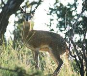 Beim Aufstieg auf den Hügel (und Aussichtspunkt) im Parkzentrum stand plötzlich dieses zierliche Klippspringermännchen (Oreotragus oreotragus) unmittelbar neben dem Auto und liess sich, was für die Nationalparks in Südafrika so typisch ist, kaum stören.
