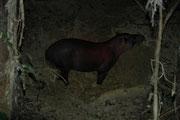 Um ca. 23 h wurden wir flüsternd gebeten, uns still und leise zu verschieben, war doch ein Flachlandtapir Tapir (Tapirus terrestris) an der Lecke !. Blitzlicht war verboten. Diese scheuen und vorsichtigen Tiere erreichen eine Länge von 220 cm und 250 kg.E