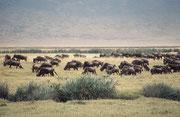 Die 7000 Gnus sind fast 1/3 der Tiere im Krater, neben 4000 Zebras und 3000 weiteren Antilopen. Sie sind nicht im Krater eingeschlossen, sondern können hinaus wandern. Es gibt keine Giraffen, Impalas, Leierantilopen oder Krokodile und nur wenige Elefanten