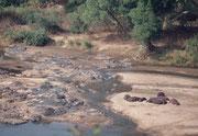 Vom gleichen Aussichtspunkt beim Olifants-River sahen wir diese Gruppe von Flusspferden (Hippopotamus amhibius), die auf einer Sandbank Sonne tankten. Spezielle Hautdrüsen sondern dabei eine Flüssigkeit ab, welche die Tiere vor der Austrocknung schützt.